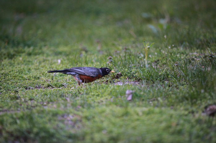 Robin looks for worms, spring 2013